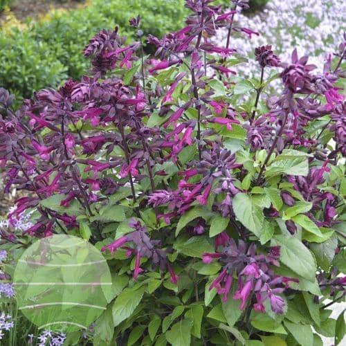Salvia Love & Wishes